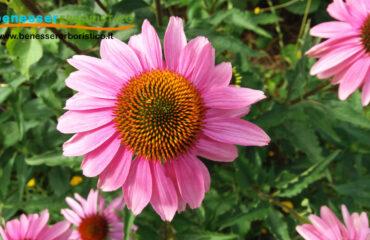 Echinacea_purpurea_benessererboristico.it_dott._Francesco_Marino
