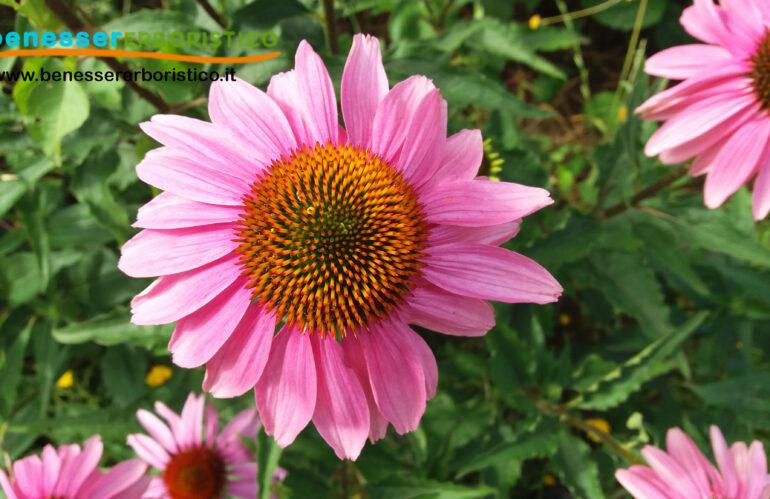 Echinacea: rafforza le difese immunitarie e la resistenza del nostro organismo