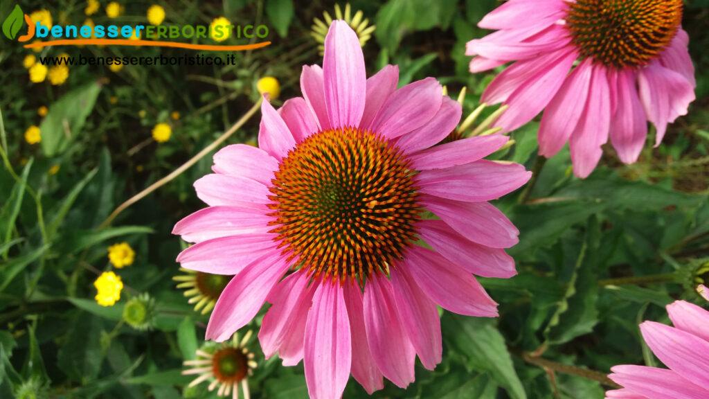 Echinacea_purpurea_flower_benessererboristico.it_dott._Francesco_Marino