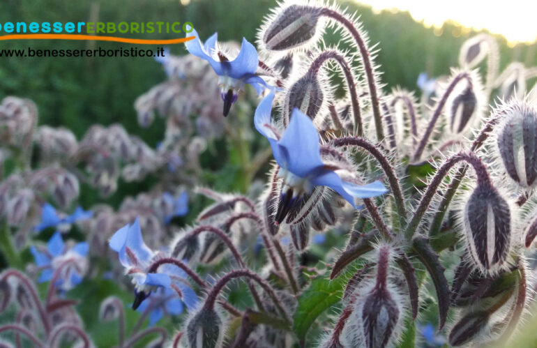 Borago_officinalis_flower_benessererboristico.it_dott._Francesco_Marino-scaled