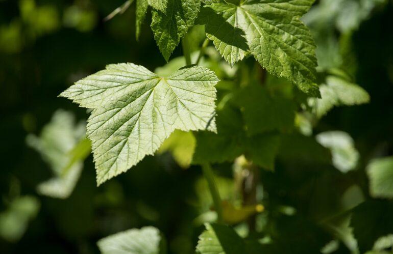 Ribes nero: dalla Natura la soluzione ad allergie e infiammazioni