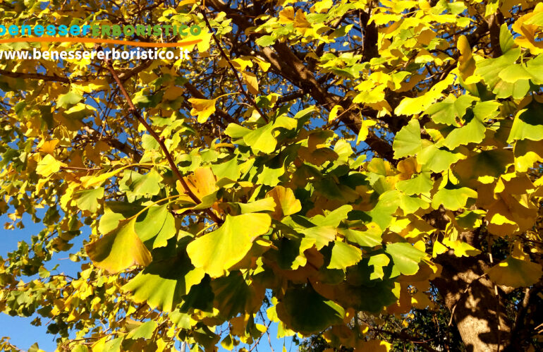 Ginkgo: l'efficacia terapeutica dell'antica foglia dorata superstite della preistoria