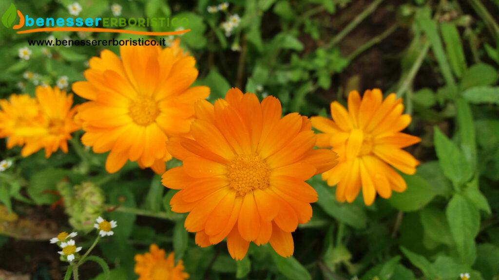 Calendula_officinalis_benessererboristico.it_dott._Francesco_Marino
