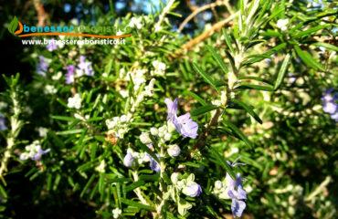 Rosmarinus_officinalis_plant_benessererboristico.it_dott._Francesco_Marino.