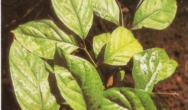 Uncaria: contro virus e infiammazioni, la pianta miracolosa della giungla a difesa del nostro sistema immunitario