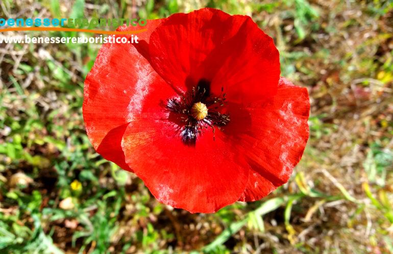Papaver_rhoaeas_flower2_benessererboristico.it_dott._Francesco_Marino