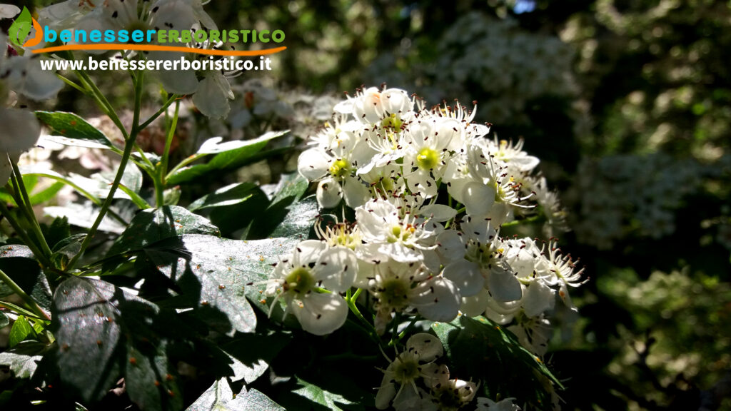 Crataegus_monogyna_fiorefoglie_benessererboristico.it_dott._Francesco_Marino-