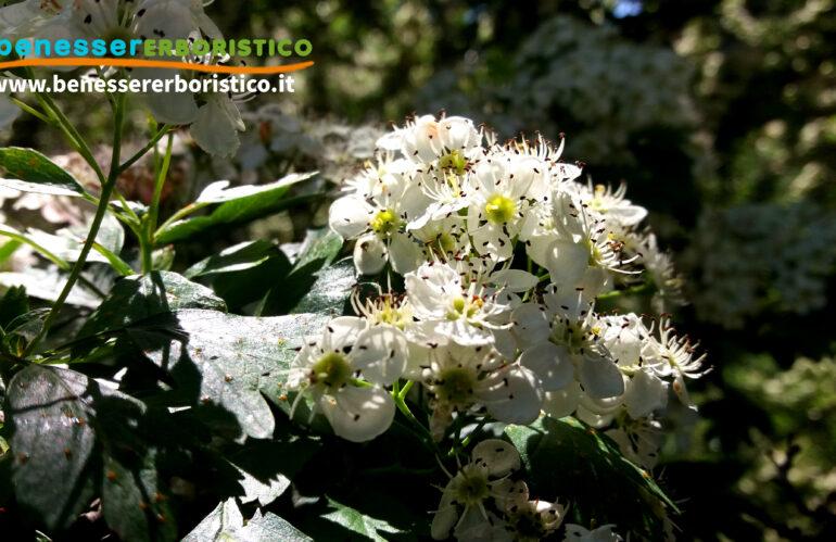 Biancospino: dalla natura, un dolce tocco di serenità