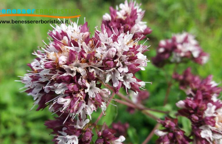 Origanum_vulgaris_benessererboristico.it_dott._Francesco_Marino-scaled.jpg