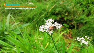 Achillea_millefolium_L._bee_benessererboristico.it_dott._Francesco_Marino.jpg-
