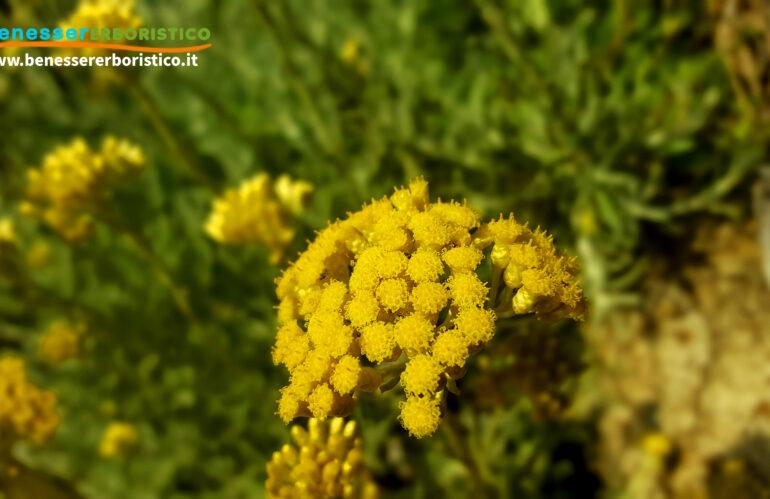 Elicriso: l'aurea fragrante del Sole, tocco di bellezza naturale per la cura della pelle
