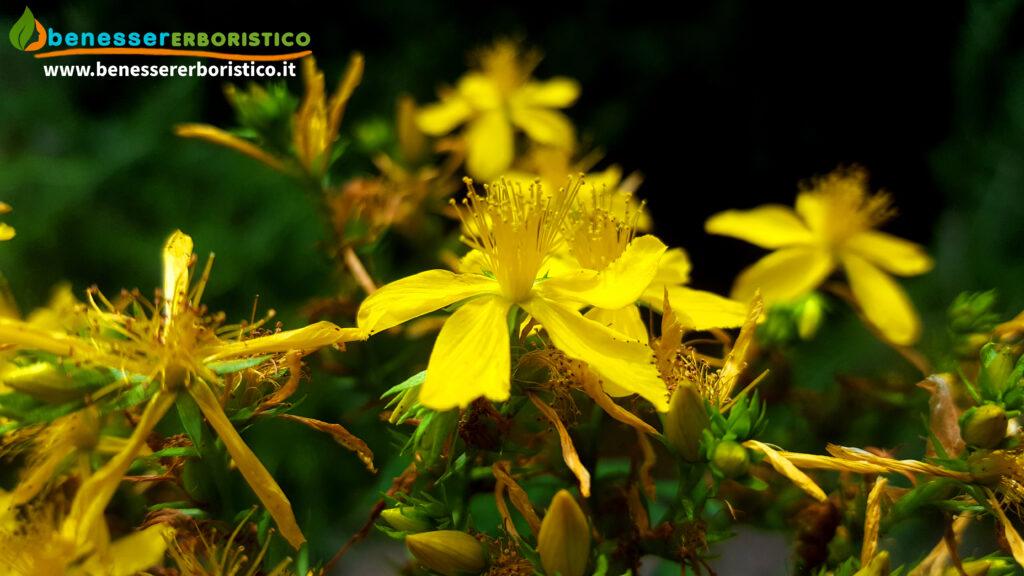 Hypericum_perforatum_flower_benessererboristico.it_dott._Francesco_Marino