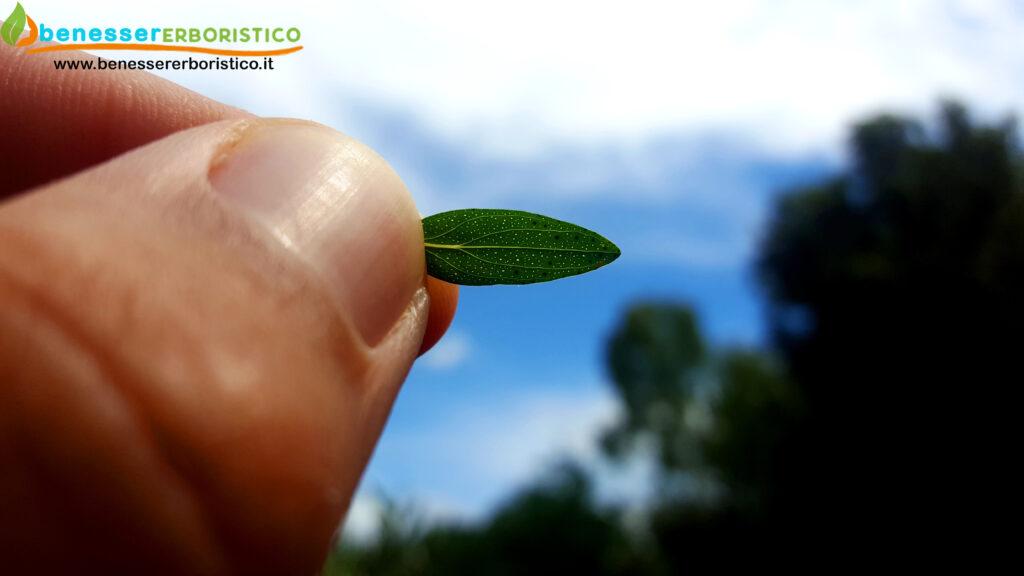 Hypericum_perforatum_leaf_benessererboristico.it_dott._Francesco_Marino