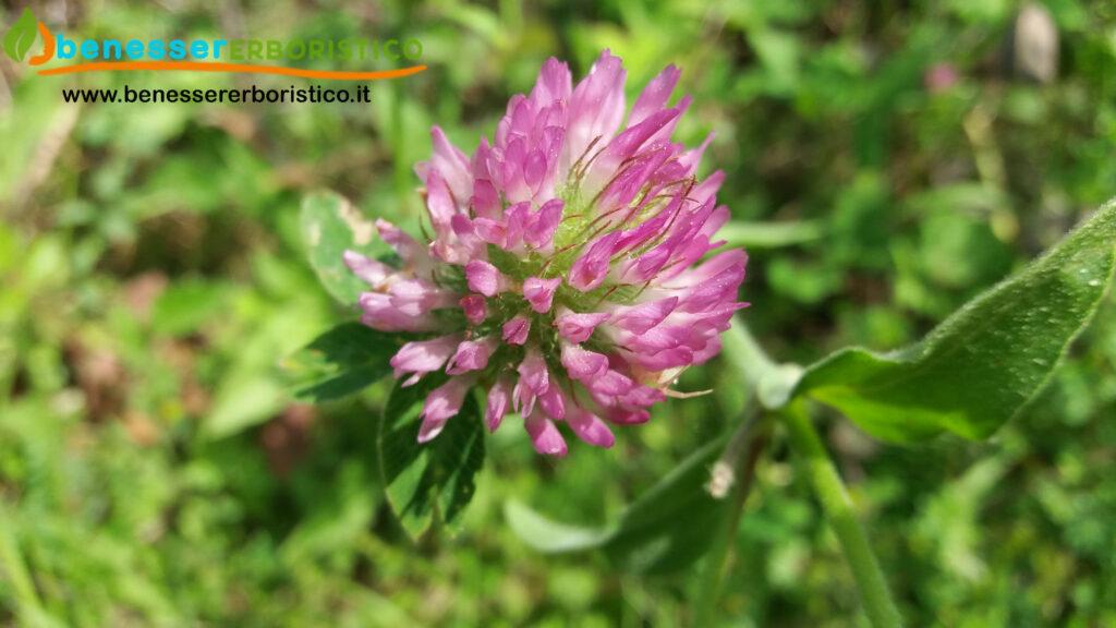 Trifolium_pratenses_benessererboristico.it_dott._Francesco_Marino-scaled.jpg