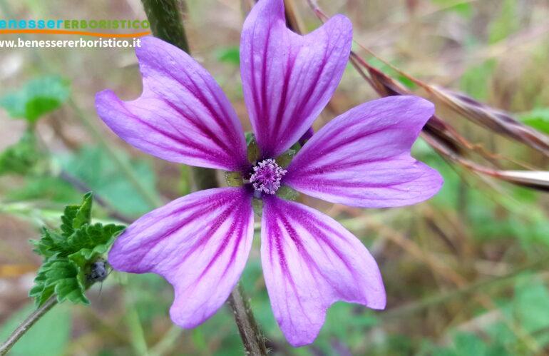 Malva: dalla pacata natura,  un elisir millenario utile alla cura