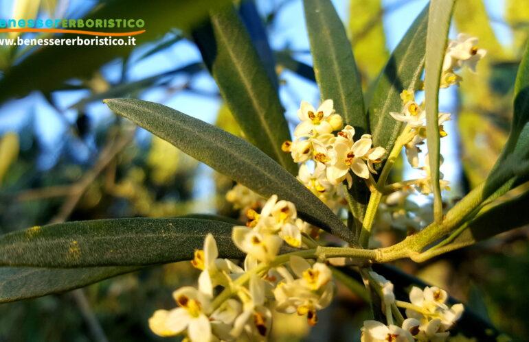 Olivo: Dal Medio Oriente al Mediterraneo, le proprietà officinali della pianta emblema delle civiltà